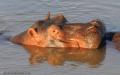 Hippo – South Luangwa National Park, Zambia