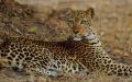 Leopard – South Luangwa National Park, Zambia