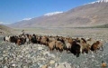 Boy with goats and sheep, Wakhan Valley - Afghanistan