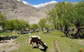 Cow grazes in Qala Ouest - Afghanistan