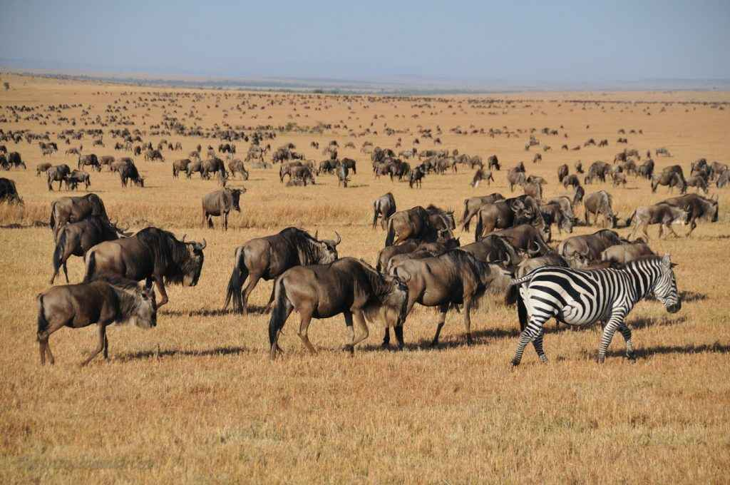 A very small portion of The Great Migration (photographed by The Travel Camel)