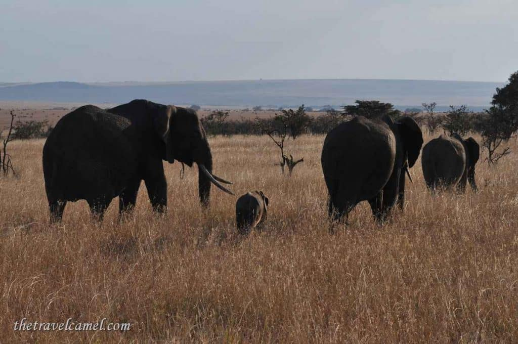 Elephants – Olare Orok Conservancy, Kenya