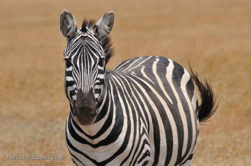 Zebra – Ol Pejeta Conservancy, Kenya