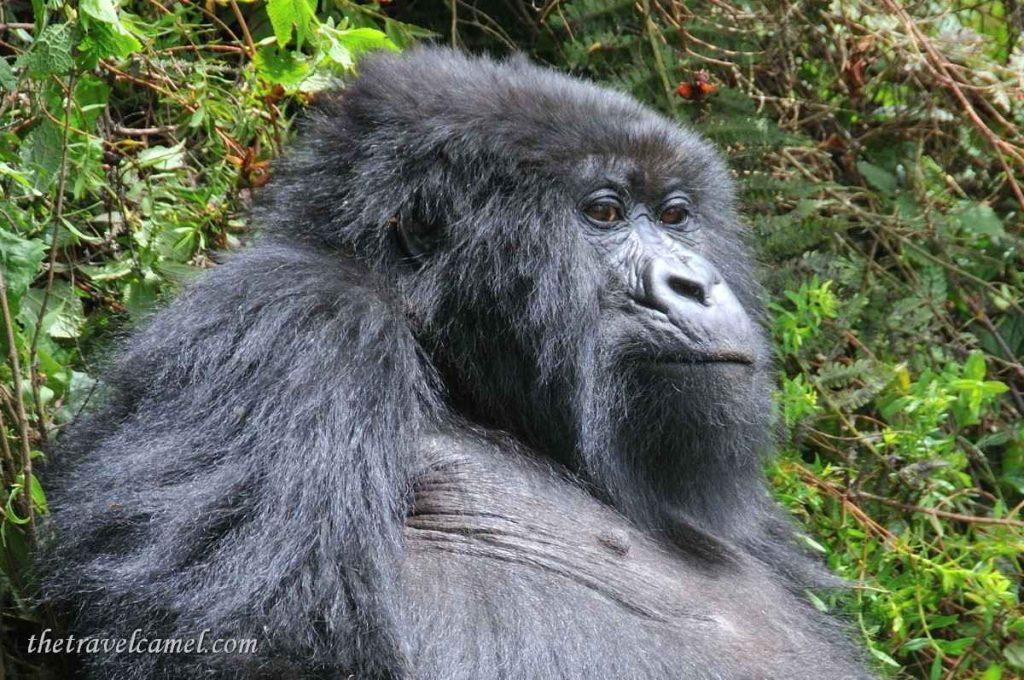 Gorilla - Parc National Des Volcans, Rwanada