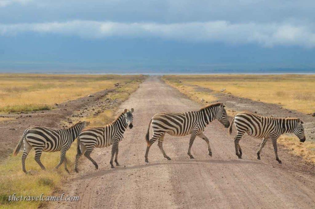 Zebra Crossing – Ngorongoro Crater, Tanzania