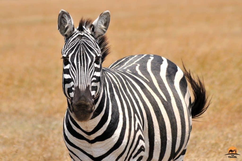 A Lone Zebra - Ol Pejeta Conservancy, Kenya