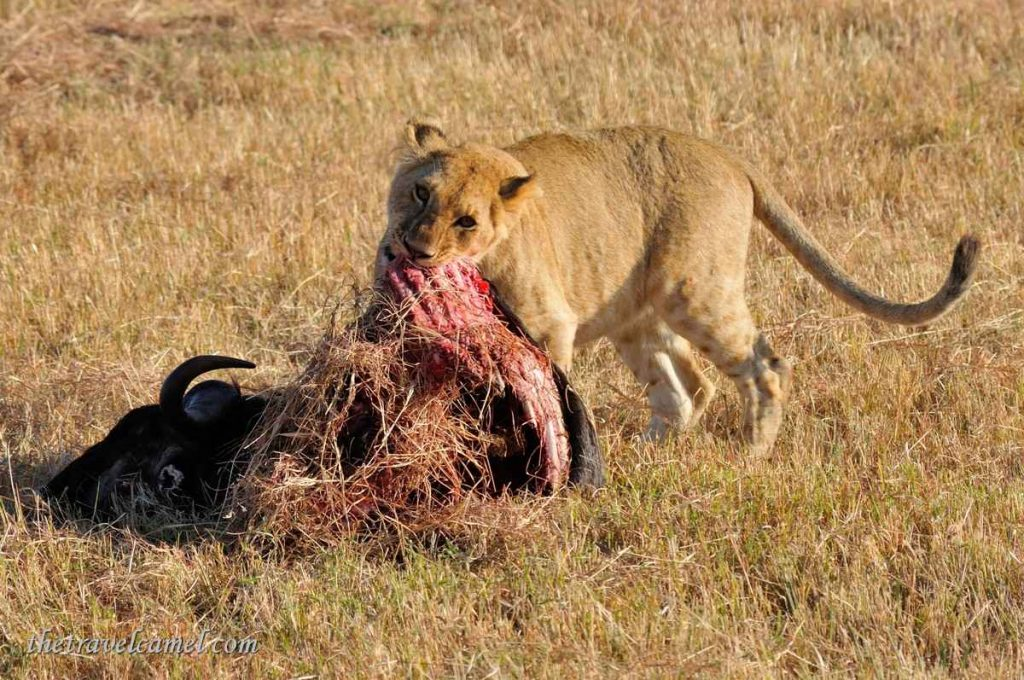Lion feeding – Olare Orok Conservancy, Kenya