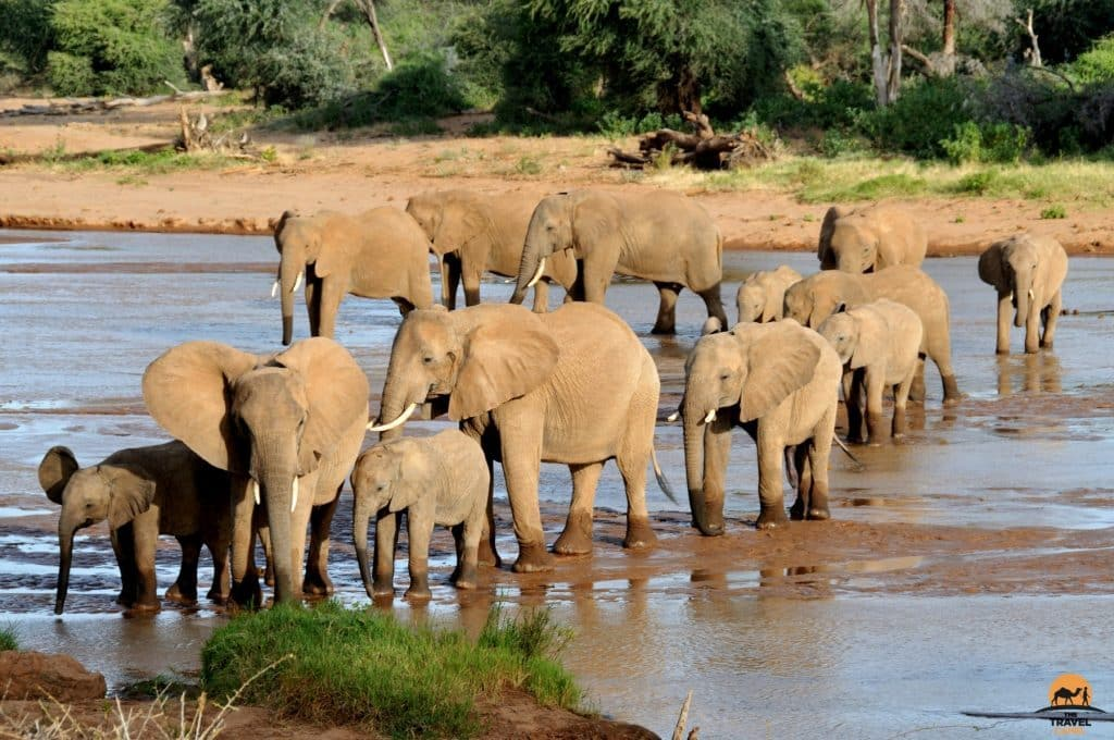 Elephants crossing the Ewaso River - Samburu National Reserve, Kenya