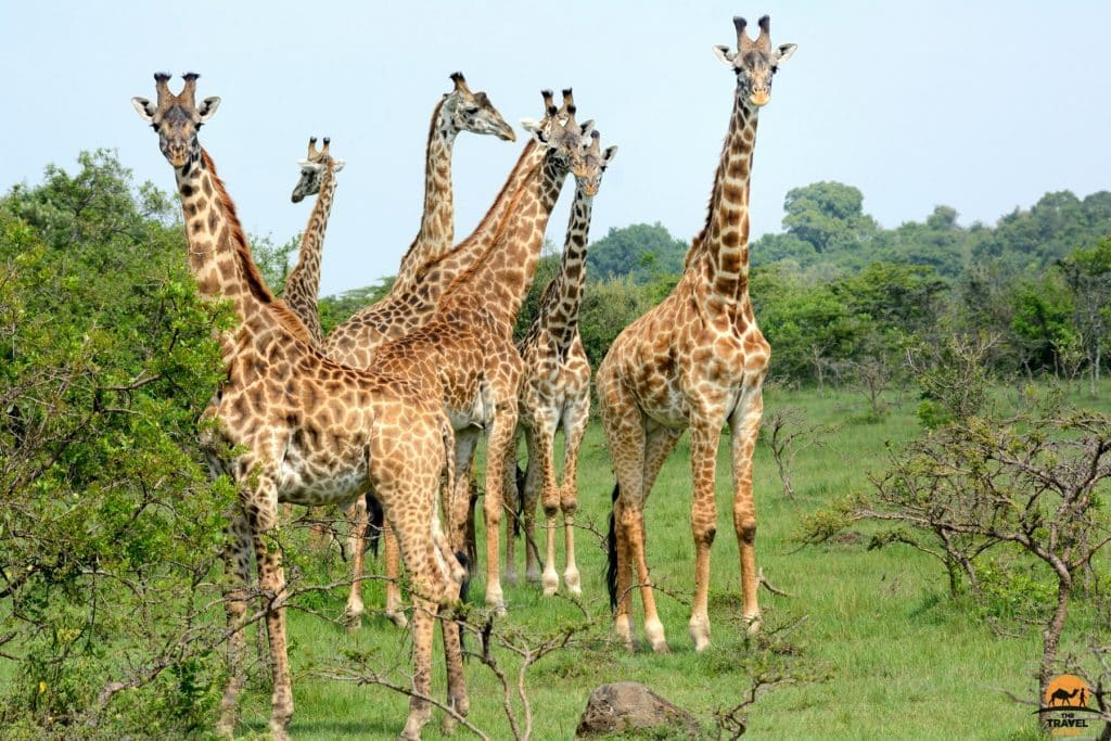 Herd of Giraffe - Maasai Mara National Reserve