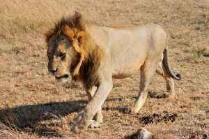 Lion during The Great Migration (photographed by The Travel Camel)