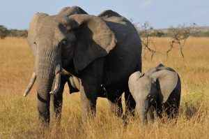 Elephants seen during The Great Migration (photographed by The Travel Camel)