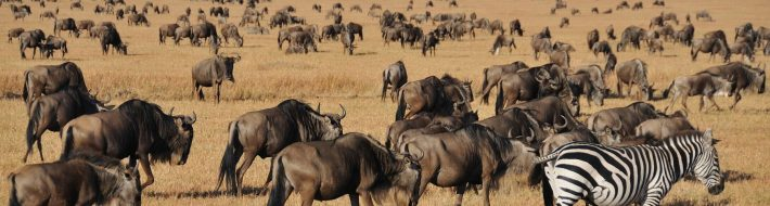 The Great Migration on the Maasai Mara - Kenya