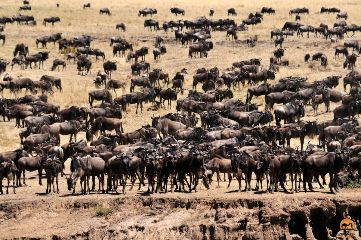 Wildebeest During The Great Migration - Maasai Mara National Reserve, Kenya